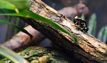 Dendrobate à tapirer © MNHN - F-G Grandin