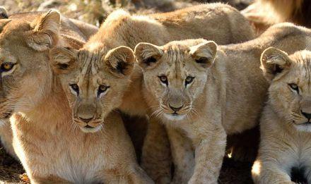 Aswad et ses lionceaux, Atlas, Kibo et Shani © F-G Grandin - MNHN