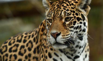 Jaguar © MNHN - F-G Grandin