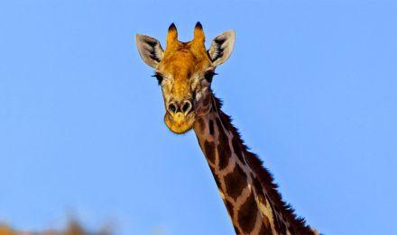 Girafe dans le désert du Kalahari © PlanetNoé - Alain Mafart Renodier