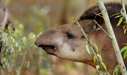 Tapir © MNHN - F-G Grandin