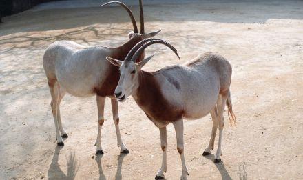Oryx algazelle © MNHN - F.G Grandin