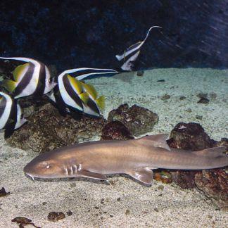 Nyíregyháza Zoo, Oceanarium, Chiloscyllium punctatum - Szilas [Public domain]