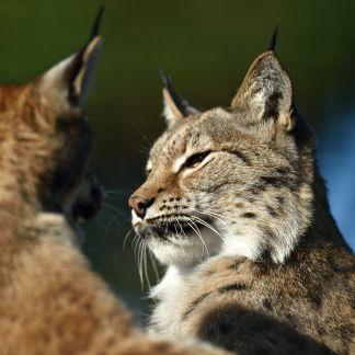 Lynx de Scandinavie © MNHN - F-G Grandin