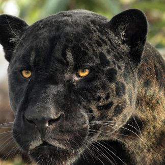 Aramis, jaguar noir © Manuel Cohen - MNHN