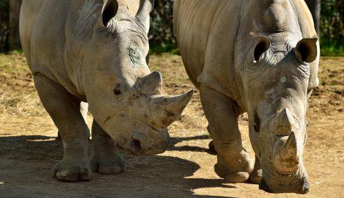 Rhinocéros blancs dans leur enclos © MNHN – F-G. Grandin