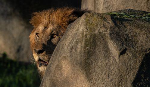 Volcan, lion arrivé en novembre 2020 au Parc zoologique de Paris © MNHN - F.-G. Grandin