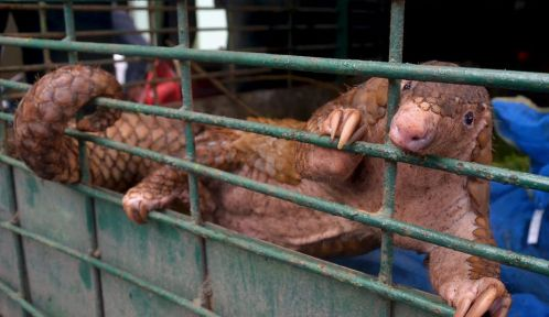 Le pangolin, l'un des animaux les plus braconnés au monde aurait servi d'espèce intermédiaire dans la transmission du Covid-19 à l'homme © Wahyudi - AFP