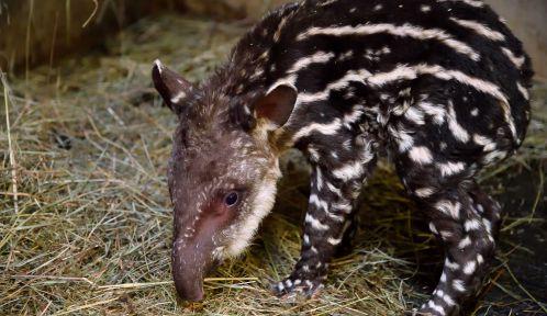 Petit tapir terrestre né en novembre 2020 au Parc zoologique de Paris © MNHN - F.-G. Grandin