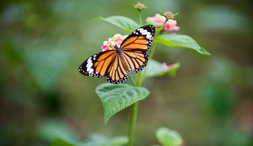 Papillon © Daniel Klein