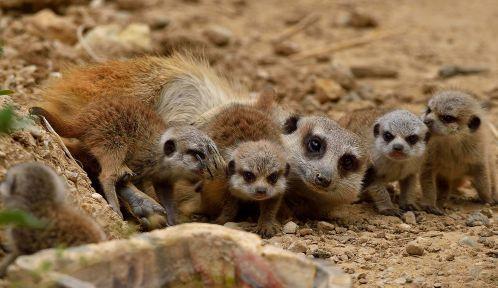 Un suricate et quatre de ses petits © MNHN - F.G. Grandin