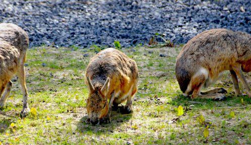 Le mara ou lièvre de Patagonie (<em>Dolichotis patagonum</em>) © A. Chatras