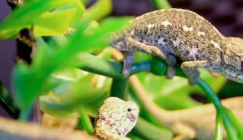 Un petit caméléon vient de naître il y a quelques jours © A. Chatras