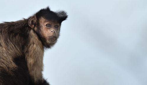 Un des trois singes capucin guyanais (Cebus apella)  © MNHN - F. Grandin