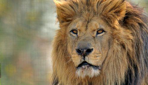 Nero le lion de l'Atlas © MNHN - F-G Grandin