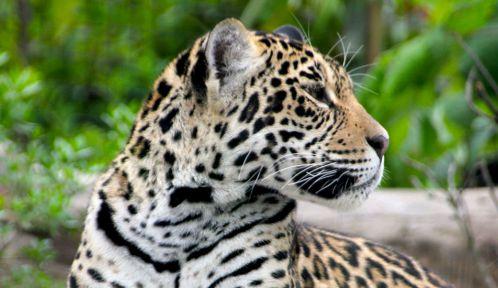 Une des deux jeunes femelles jaguar (<em>Panthera onca</em>) © A. Chatras