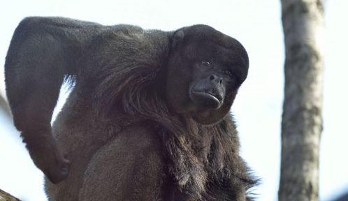 Luca, le singe laineux © MNHN - J-C Domenech