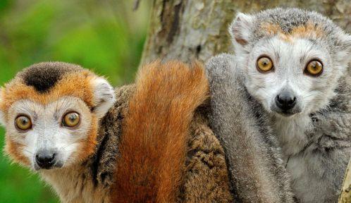 Lémurs couronnés © MNHN - F-G Grandin