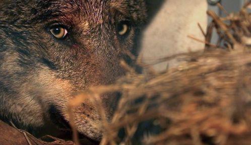 Un des cinq loups ibériques fraîchement arrivés au zoo © Guy Beauché et Olivier Le Hellard / Gédéon Programmes et MFP