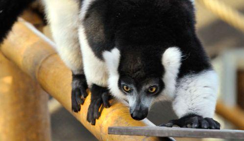 Le vari à ceinture blanche prend ses marques dans sa volière © MNHN - F. Grandin