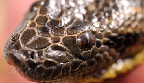 Anaconda vert © MNHN - F-G Grandin