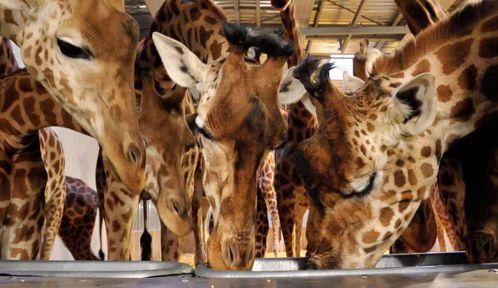 Les girafes se ruent sur la barbotine © MNHN - F. Grandin