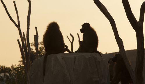 Babouins de Guinée au coucher du soleil © Théo Stefanini