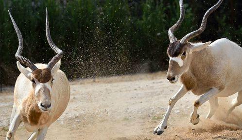 Addax ou antilope à nez tacheté © Aurore Chatras