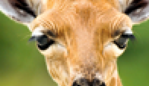 Adeline, la girafe © MNHN - F-G Grandin