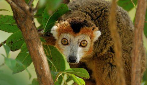 Lémur couronné © MNHN - F-G Grandin