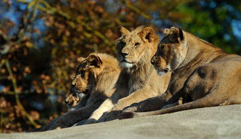Famille des lions dans leur enclos © MNHN - F-G Grandin