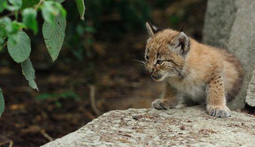 Jeunes lynx © MNHN - F-G Grandin