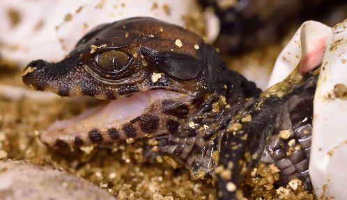 Naissance d'un caiman au Parc Zoologique de Paris © MNHN - F-G Grandin