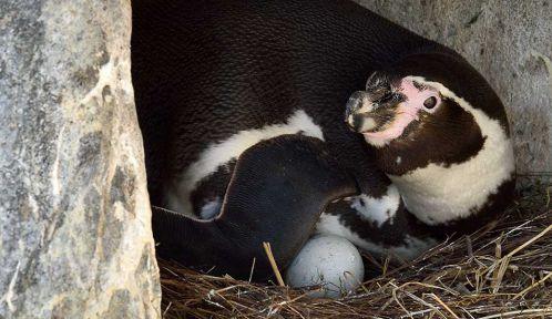Manchot de Humboldt couvant ses oeufs © F-G Grandin - MNHN
