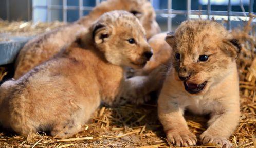Lionceaux © MNHN - F-G Grandin