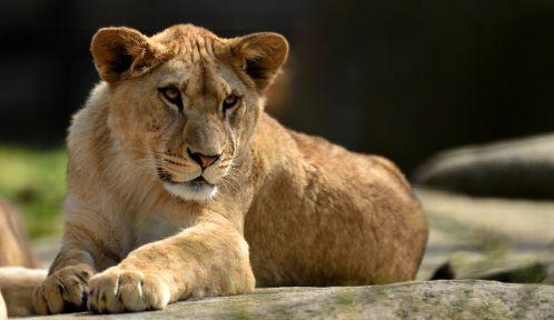 Shani, jeune lionne © MNHN - François-Gilles Grandin