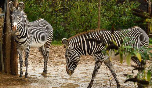 Zèbres du Parc Zoologique de Paris © MNHN - F-G Grandin
