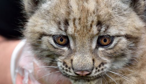 Jeune lynx © MNHN - François-Gilles Grandin