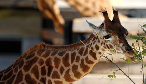Girafe de l'Ouest dans son enclos © MNHN - F-G Grandin