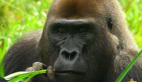 Gorille de l'ouest © Shelly Masi