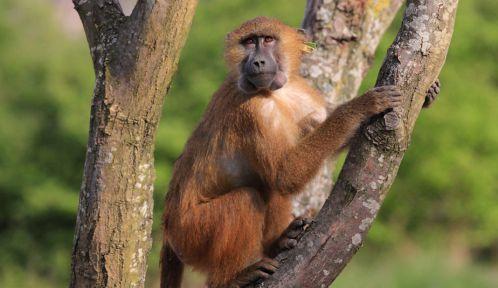 Uyumi, le babouin de Guinée © Manuel Cohen