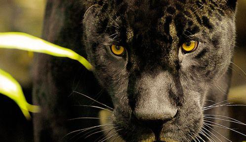 Aramis, jaguar noir © MNHN - F-G Grandin