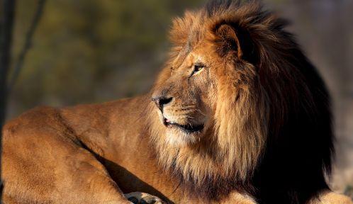 Néro, le lion d'Afrique © Manuel Cohen