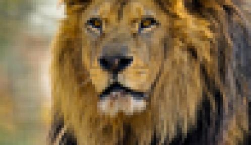 Néro le lion d'Afrique © MNHN - F-G Grandin