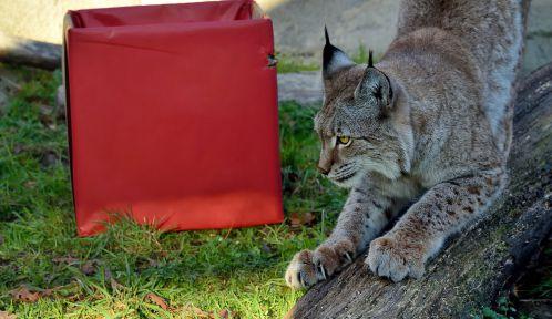 Noël au zoo, Lynx © MNHN