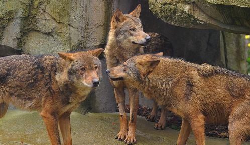 Loups ibériques © MNHN - F-G Grandin