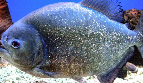Piranha © Wikimedia commons - Karelj