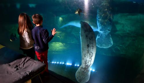 """Tête à tête avec les lamantins pour les gagnants du jeu-concours """"Une nuit au zoo"""" © MNHN – F-G. Grandin"""