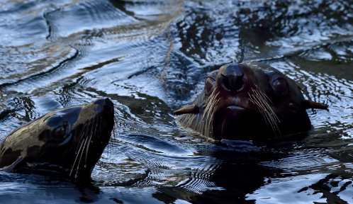 Otaries à fourrure australe © MNHN – F-G. Grandin