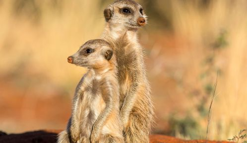 Suricates © Naturagency - J-L. Klein & M-L. Hubert